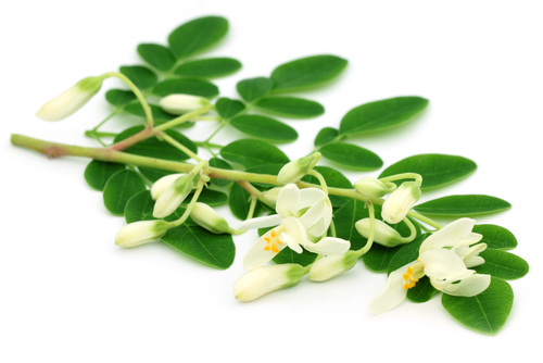 Discover About The Wonderful Moringa Carrier Oil!