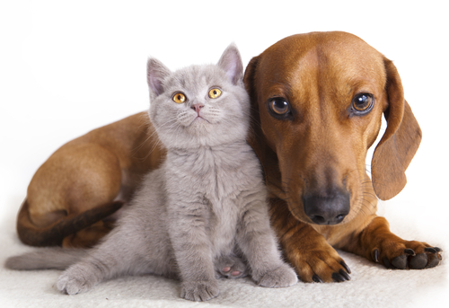 How To Use Essential Oils When You Have Pet Dogs & Cats