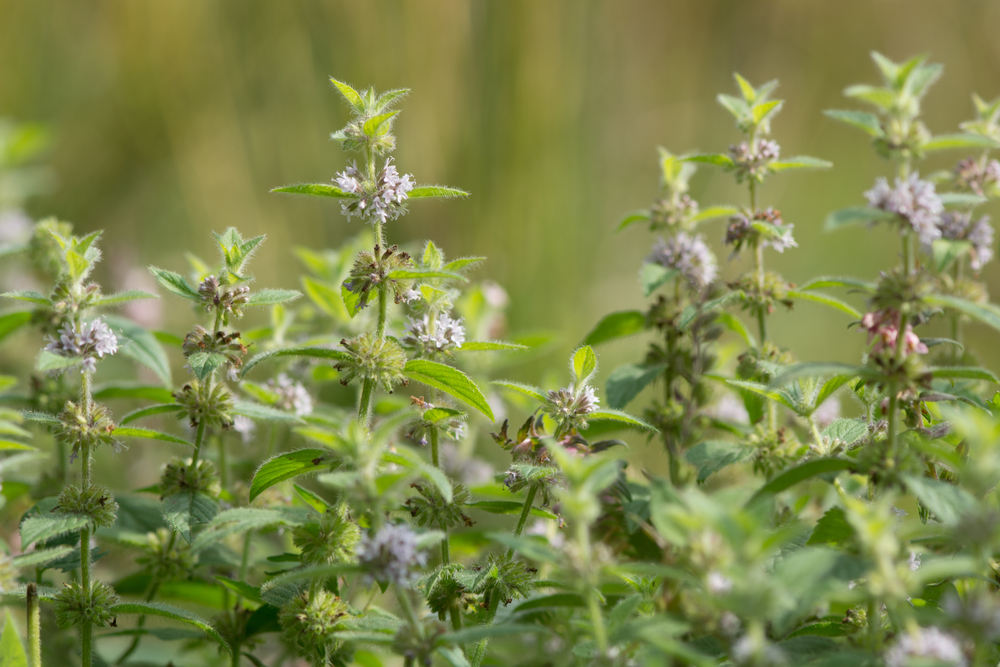 Ingredient Spotlight: Cornmint