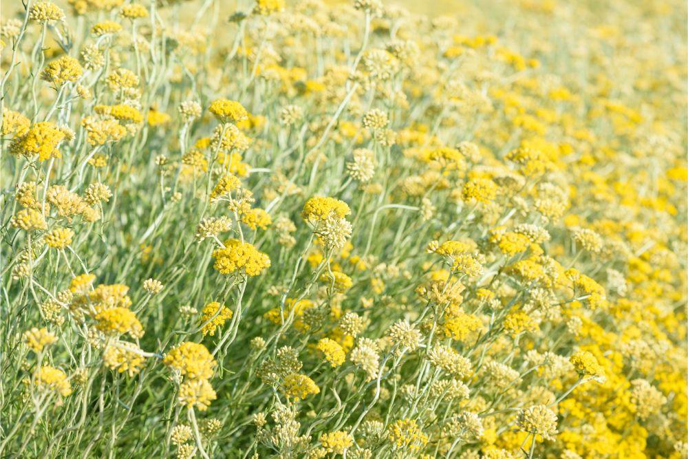 Ingredient Spotlight: Helichrysum Italicum