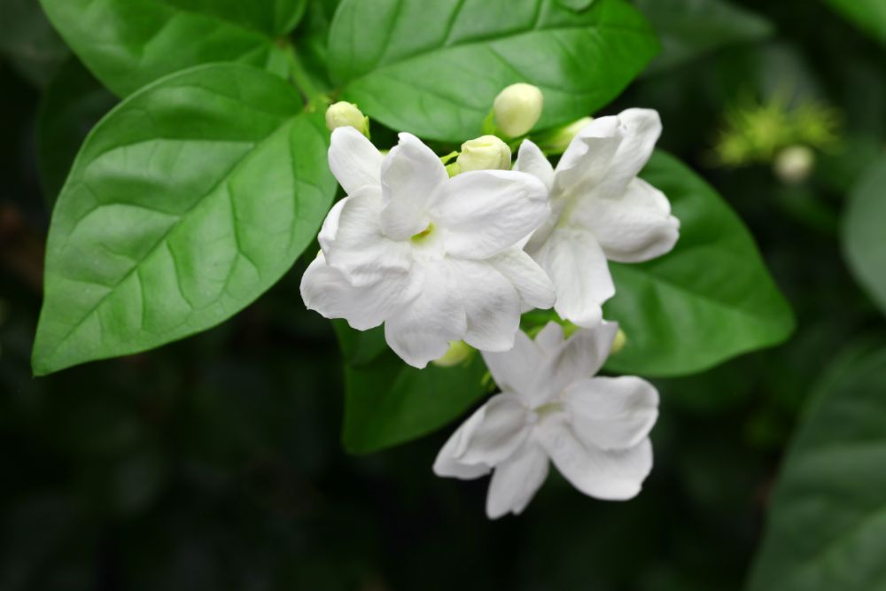 Ingredient Spotlight: Jasmine