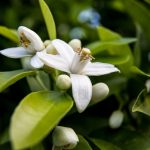 Ingredient Spotlight: Neroli