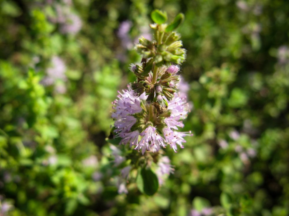 Ingredient Spotlight: Pennyroyal