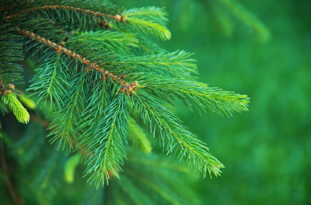 Ingredient Spotlight: Wild Black Spruce