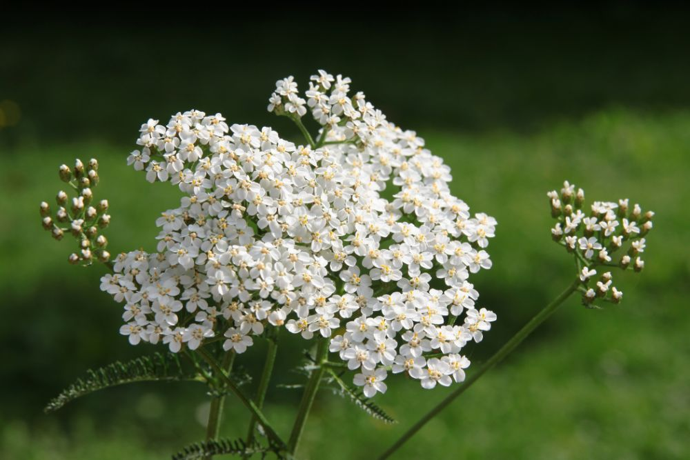 Ingredient Spotlight: Yarrow