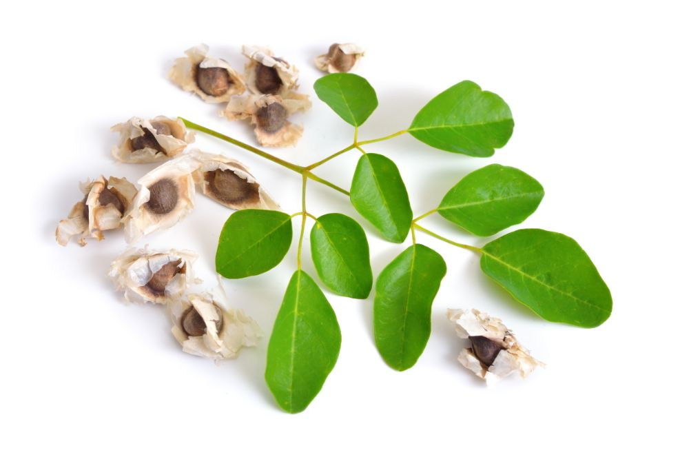 Ingredient Spotlight: Moringa Oleifera