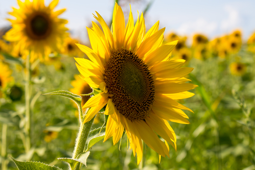 Why Use The Sunflower Carrier Oil?