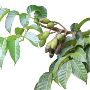 Essential Oil Ingredient African Elemi