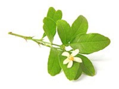 Essential Oil Ingredient Amyris Branches
