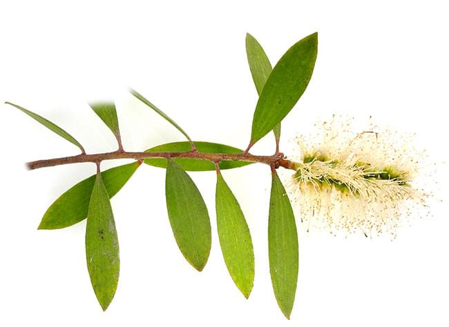 Essential Oil Ingredient Cajeput