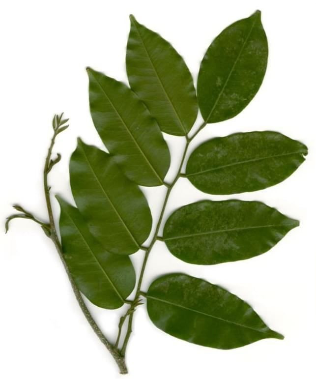 Essential Oil Ingredient Peru Balsam Tree