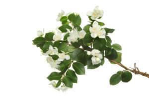 Essential Oil Ingredient Pink Myrtle Flower