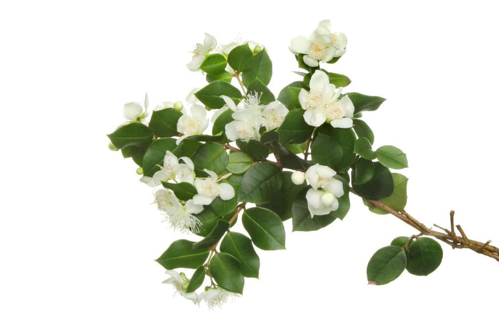 Essential Oil Ingredient Pink Myrtle Flower