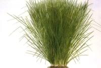 Essential Oil Ingredient Vetiver Grass