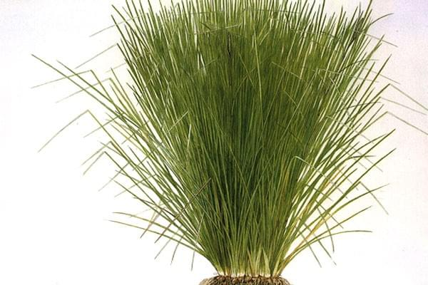Essential Oil Ingredient Vetiver Grass