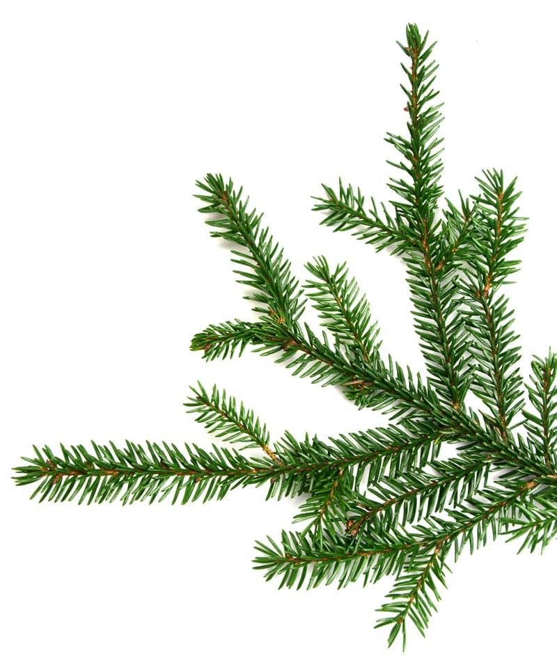 Essential Oil Ingredient Wild Black Spruce