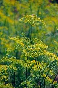 Fennel Sweet