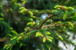 Wild Black Spruce